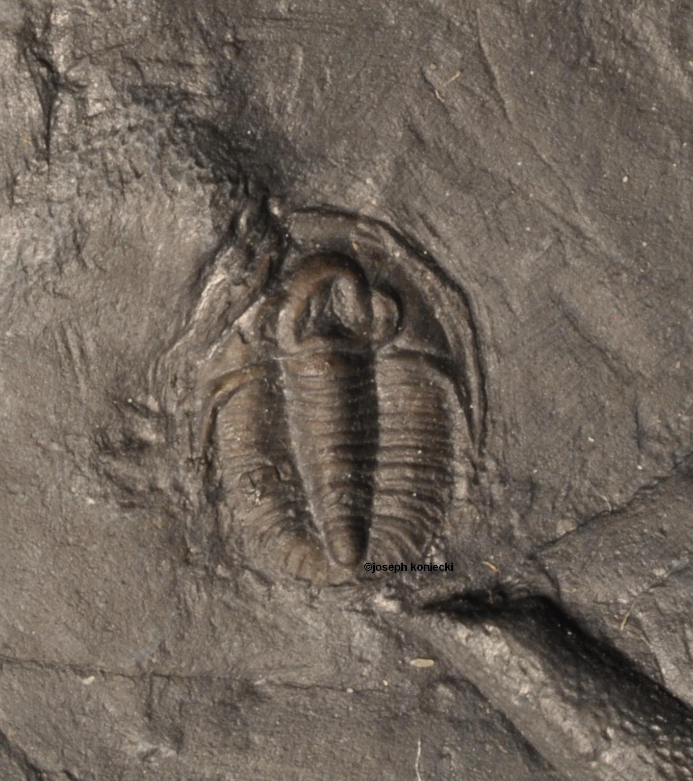 Cyphoproetus