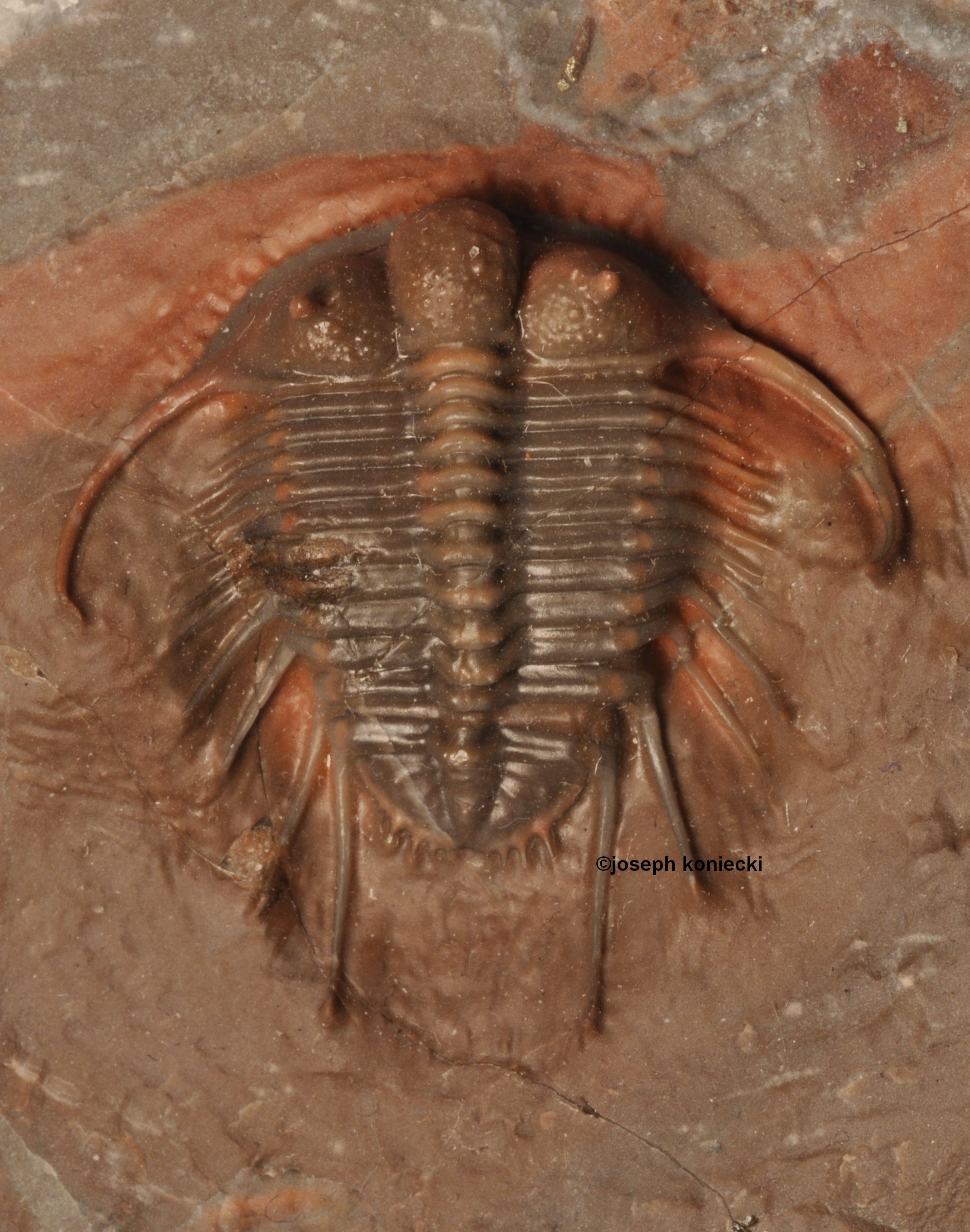 Cyphaspides