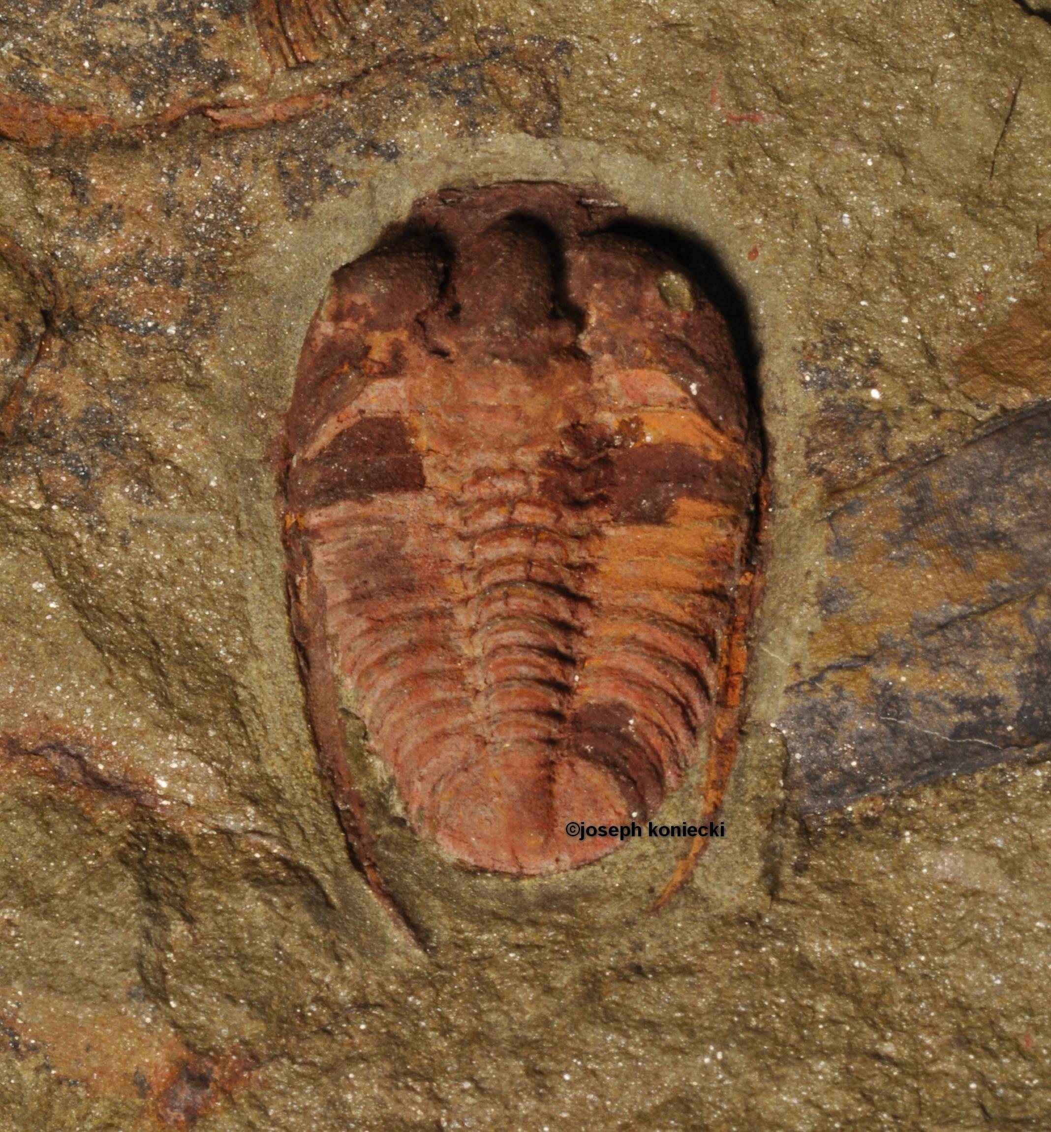 Bathycheilus