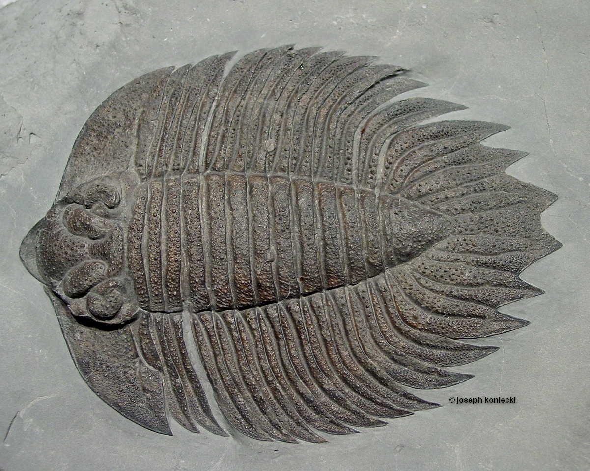 Arctinurus